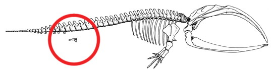 Hind structures in whales