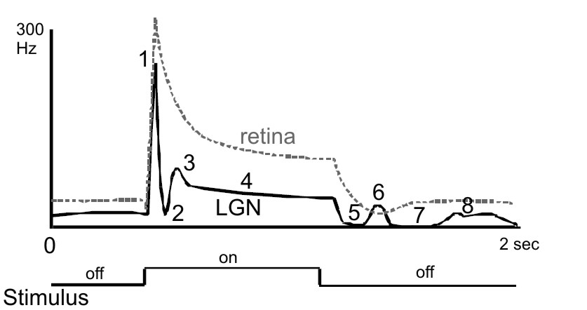 Typical LGN cell responses